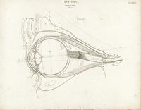 Anatomy of the human eye.