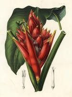 Scarlet banana, Musa coccinea.