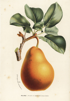 Jules d'Airoles pear, Pyrus communis.
