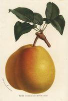 Duchesse de Mouchy pear, Pyrus communis.