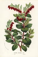 Java mountain lingonberry, Vaccinium erythrinum.
