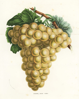 Golden hambro grape, Vitis vinifera.