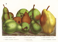 Varieties of pear, Pyrus communis.