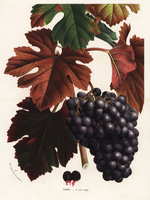 Red grapes, Vitis vinifera.