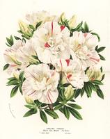 Satsuki azalea, Rhododendron indicum.