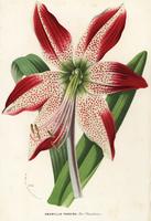 Hippeastrum pardinum.