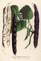 Green bean, Phaseolus vulgaris.