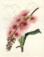 Barringtonia macrocarpa.