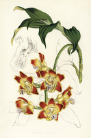 Red bull's mouth orchid, Chysis bruennowiana