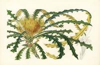 Golden dryandra, Dryandra nobilis.