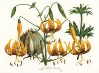 Humboldt's lily, Lilium humboldtii.