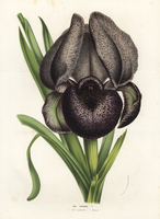 Mourning iris, Iris susiana.
