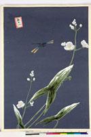 友禅図案(夏模様随意友禅図案集より) 20046004343| 写真素材・ストックフォト・画像・イラスト素材|アマナイメージズ