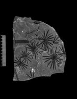 Fossil leaves of Calamites 20047001017| 写真素材・ストックフォト・画像・イラスト素材|アマナイメージズ