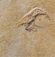 Fossil prawn 20047001038  写真素材・ストックフォト・画像・イラスト素材 アマナイメージズ
