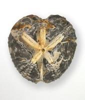 Micraster coranguinum (Leske)