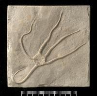 Palaeocoma egertoni