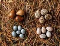 A collection of eggs from western Asia
