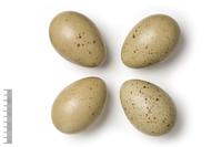 Tetraogallus caspius