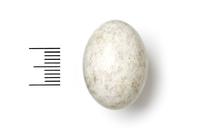 Caprimulgus nubicus