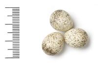 Phylloscopus orientalis