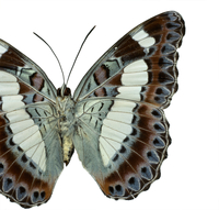 Moduza nuydai, butterfly