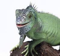 Iguana iguana, green iguana