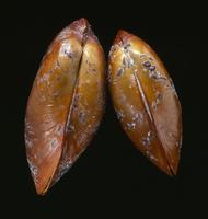 シンカイヒバリガイ属の一種
