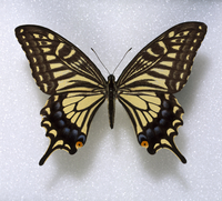 Papilio xuthus, swallowtail butterfly