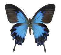 Papilio ulysses telegonus, swallowtail butterfly