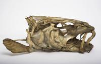 タイセイヨウマダラの頭骨