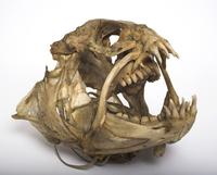 シロオオカミウオの頭骨