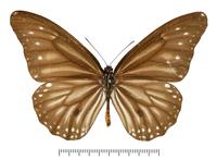 スジグロシロマダラの亜種