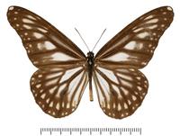 マダラチョウのなかまの標本