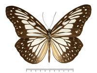 トガリアサギマダラの亜種の標本