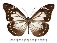 アサギマダラ属の一種の標本