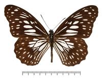 ニセミナミコモンマダラの亜種の標本
