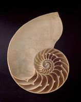 オウムガイの断面 20047001614  写真素材・ストックフォト・画像・イラスト素材 アマナイメージズ