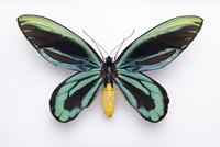 アレキサンドラトリバネアゲハ オスの標本 20047001635  写真素材・ストックフォト・画像・イラスト素材 アマナイメージズ