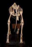 イヌ属エスキモードッグの骨格標本 20047001669  写真素材・ストックフォト・画像・イラスト素材 アマナイメージズ