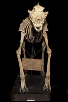 イヌ属エスキモードッグの骨格標本 20047001670  写真素材・ストックフォト・画像・イラスト素材 アマナイメージズ