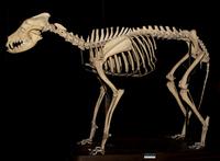 イヌ属エスキモードッグの骨格標本 20047001671  写真素材・ストックフォト・画像・イラスト素材 アマナイメージズ