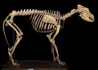 イヌ属エスキモードッグの骨格標本 20047001672  写真素材・ストックフォト・画像・イラスト素材 アマナイメージズ