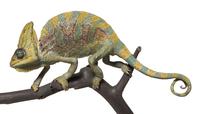 エボシカメレオンの標本 20047001714  写真素材・ストックフォト・画像・イラスト素材 アマナイメージズ