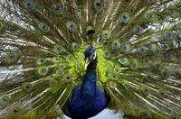インドクジャクの標本 20047001754  写真素材・ストックフォト・画像・イラスト素材 アマナイメージズ