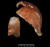 ホモサピエンスの頭蓋の一部 ピルトダウンで発掘 20047001781  写真素材・ストックフォト・画像・イラスト素材 アマナイメージズ