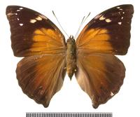 イワサキコノハ 標本 20047001811  写真素材・ストックフォト・画像・イラスト素材 アマナイメージズ