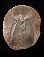 アプトロブラッティナ 巨大ゴキブリ 石炭紀 化石