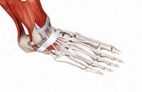 Muscular foot-11