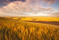 Summer Wheat, Palouse 20050000160| 写真素材・ストックフォト・画像・イラスト素材|アマナイメージズ